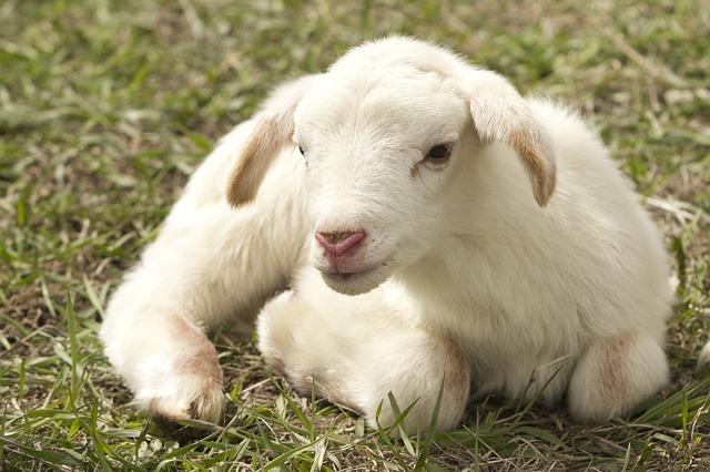 granja m u00f3vil de animales para fiestas a domicilio de sheep clip art cute sheep clip art black and white